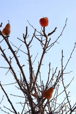 Pears and apples on branches