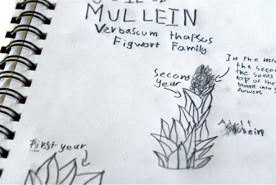 Nature_journal_mullein