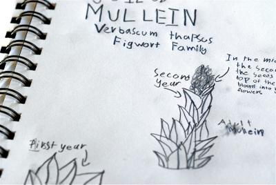 Nature_journal_mullein