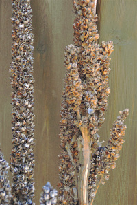 Dried_mullein_stalk