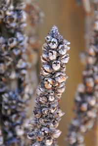 Dried_mullein_stalk_closeup_2