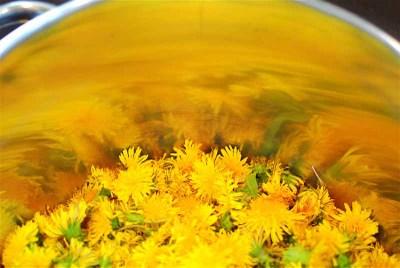 Dandelions_in_the_pot