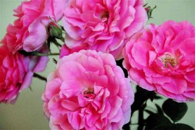 Pink_roses_for_frances